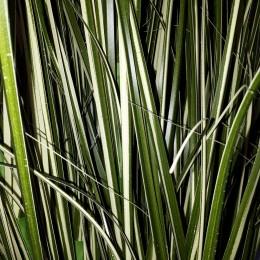 Sztuczna trawa w doniczce MISKANT chiński zielono-biały 100 cm