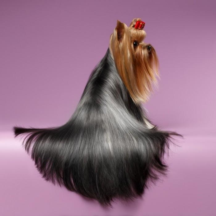 AmiWet szampon dla Yorka / szampon hipoalergiczny dla psa york