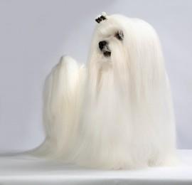 Szampon dla Maltańczyka / szampon rozjaśniający dla psa Maltańczyka