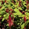 Szarłat ogrodowy zwisający 2g nasiona kwiatów amarantusa do ogrodu