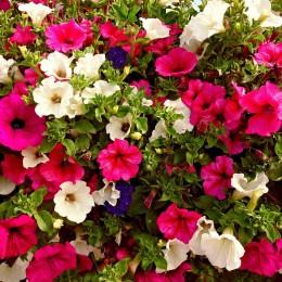 Nasiona Legutko petunia ogrodowa mieszanka balkonowa
