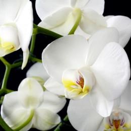 Naturalne aromaty olejek zapachowy ORCHIDEA 12 ml aromaterapia