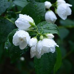 Naturalne aromaty olejek zapachowy JAŚMIN 12ml