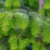 Naturalny olejek eteryczny JODŁA 12ml aromaterapia